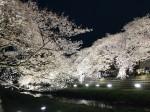 野川の桜 ライトアップ