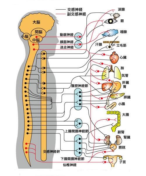 内臓支配神経